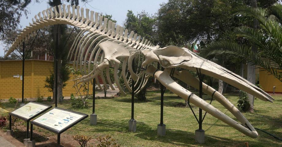 Dinosaurios en el Museo de Historia Natural de UNMSM